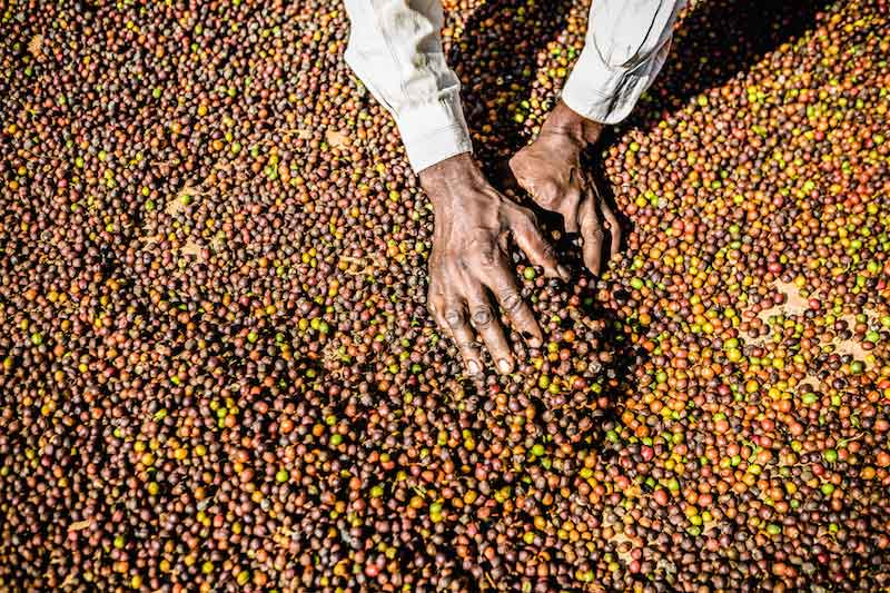 The coffee harvesting season in the North-West of the country
