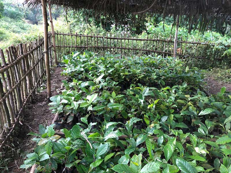 A coffee nursery in one of the villages in Isangi