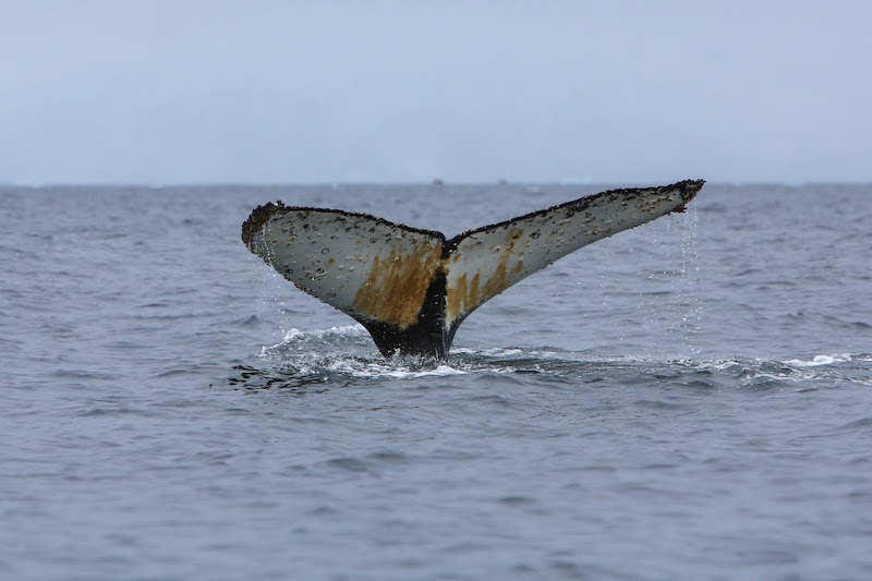 Humpback whale populations have rebounded since the end of the cruel era of industrial whaling