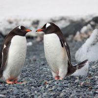 South Poles Penguin