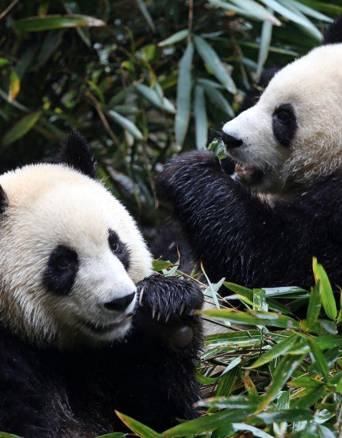 panda-blog-chinese-new-year-south-pole.jpeg