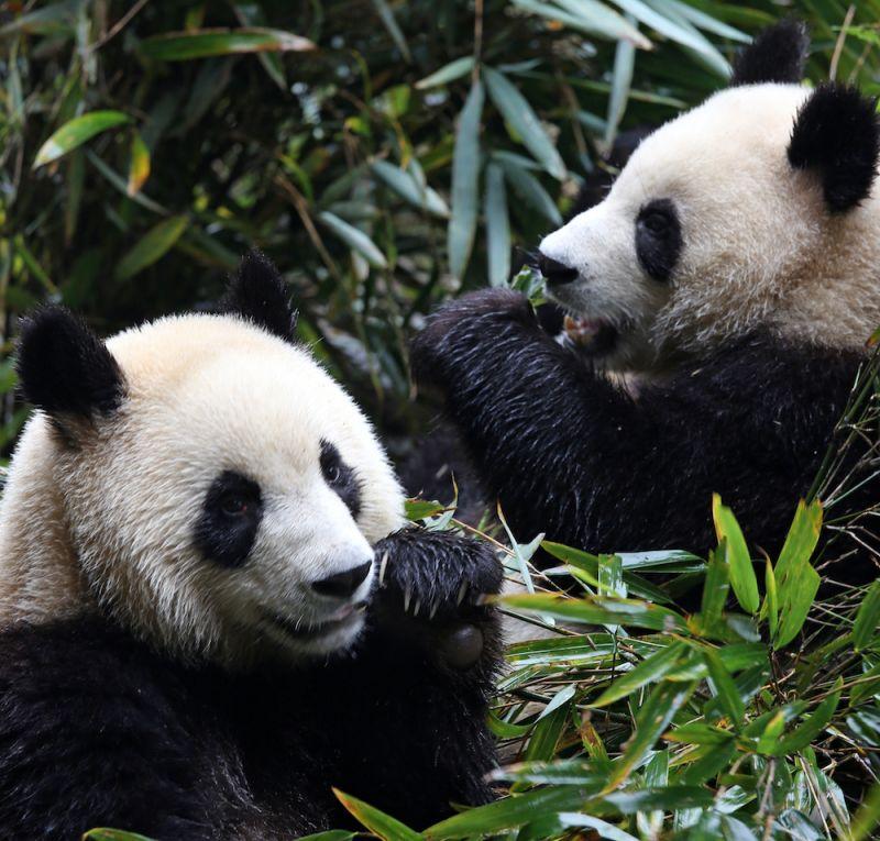 联合世界自然基金会,清洁炉灶,拯救大熊猫