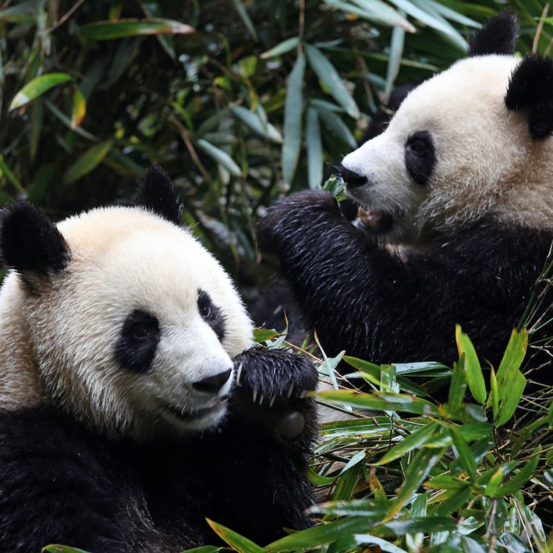 Clean cookstoves saving the Giant Panda with WWF