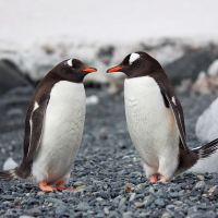 South Pole Penguin